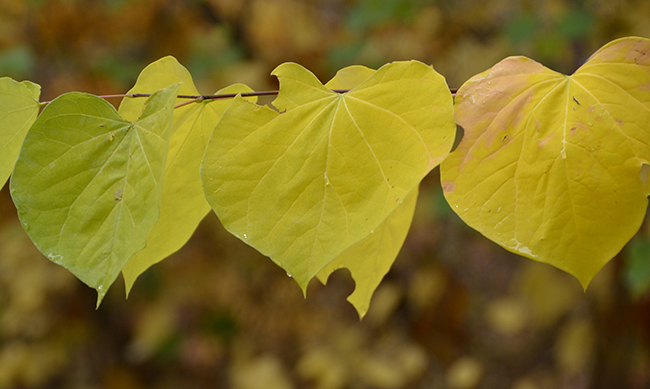 cercis-canadensis-leaves-fall.jpg