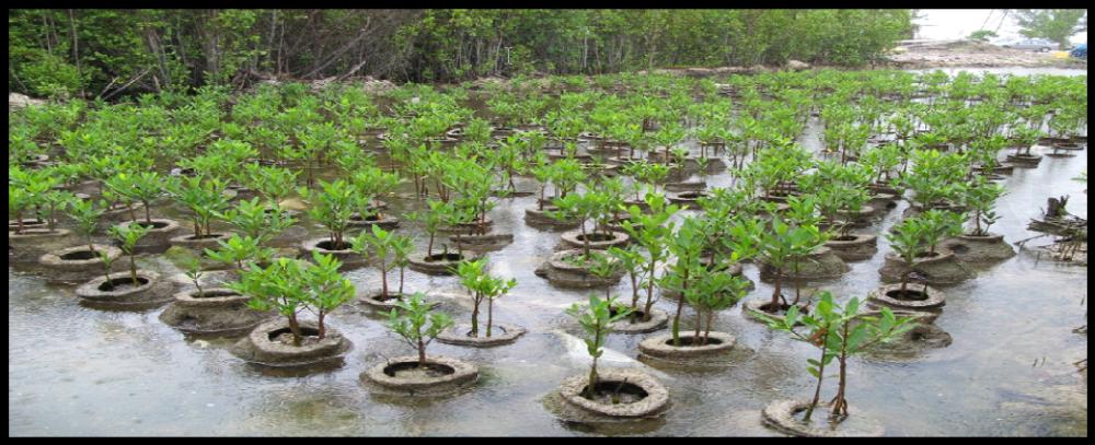 mangrove restoration.png